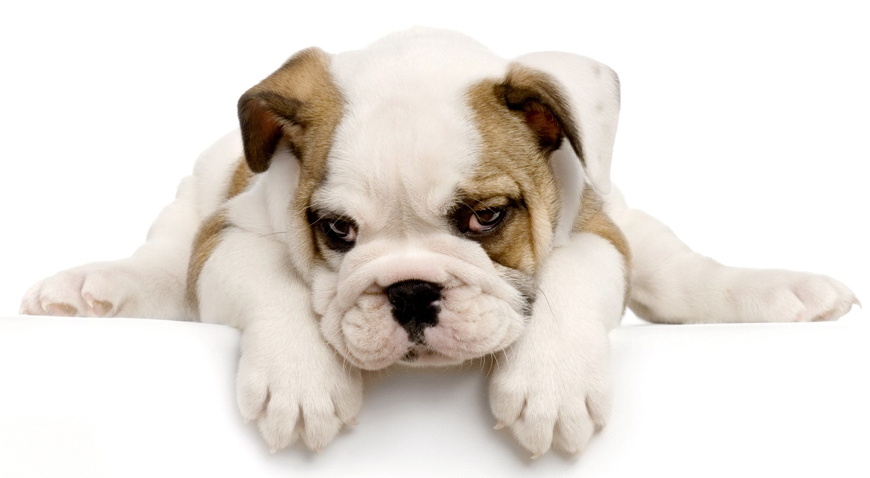 adiestramiento de cachorros